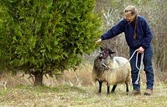 Picture of a Sheep and Owner